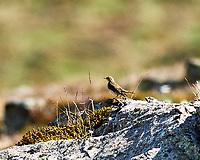 Meadow Pipit (Anthus pratensis). Akureyri, Iceland. Image taken with a Nikon Df camera and 300 mm f/2.8 VR lens.