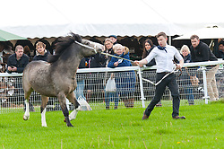© Licensed to London News Pictures. 01/11/2019. Llanelwedd, Powys, Wales, UK. The WPCS (Welsh Pony and Cob Society) hold a show of Geldings on the first day of the 56th Autumn Cob sale. The Autumn Cob Sale is the largest sale in the World of registered Welsh Cobs Section D, Welsh Ponies of Cob Type Section C and their Part Breds. The sale, held by Brightwells auctioneers, takes place over three days at The Royal Welsh Showground in Builth Wells, Powys, UK, attracting an audience of thousands of Welsh Cob enthusiasts worldwide. Photo credit: Graham M. Lawrence/LNP