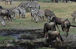 24-10-2008 REPORTAGE: KILIMANJARO CHALLENGE 2008: TANZANIA <br /> De dag van De Ngorongoro-krater, de grootste intakte caldera (ingestorte vulkaankegel) ter wereld. Hij bevindt zich ten noordwesten van Arusha in Tanzania / Wild, dieren, Natuur, vogels, Gnoes en Zebra<br /> ©2008-FotoHoogendoorn.nl
