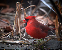 Male Northern Cardinal. Image taken with a Nikon D5 camera and 600 mm f/4 VR telephoto lens (ISO 1600, 600 mm, f/4, 1/160 sec).
