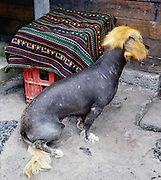 """The Peruvian hairless dog breed is known as the Peruvian Inca Orchid (""""PIO"""") in English; """"Perro sin pelo del Peru"""" in Spanish; """"Mexican Hairless"""" in Mexico; """"khala"""" in Bolivian Quechua meaning 'without clothing'; and """"caa allepo"""" in Peruvian Quechua meaning """"without vestment."""" Only recently did the American Khala Association adopt a standard for this hairless hound which is indigenous to Latin America from Mexico throughout Central and South America. Its body is furless, gray and wrinkled. A sharp red tongue hangs from its long and pointy snout. Atop its head stands a scant clump of hair, Mohawk-style. Humans probably brought this canine to the Americas 2,000 to 3,000 years ago during the migration from Asia across the Bering Strait. Ceramics from pre-Incan cultures show these dogs growling, giving birth, suckling, and copulating. The Inca and other pre-Columbian cultures highly valued this breed, which is now surging in popularity in the United States and Europe, but ironically declining in status in Peru. Photographed at Aguas Calientes village, """"Machupicchu Town,"""" at the foot of Machu Picchu, Peru, South America."""