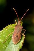Close up of a box bug (Gonocerus acuteangulatus) on a leaf in a dry stony habitat near the coast, Rovinj, Croatia