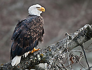 Bald Eagle, Chilkat Bald Eagle Preserve, Haines, Alaska