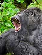 Silverback mountain gorilla, Volcanoes National Park, Rwanda