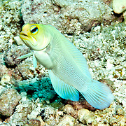 Yellowjawfish inhabit areas of sand and coral rubble near reefs; hover above burrows, in Tropical West Atlantic; picture taken Key Largo, FL.