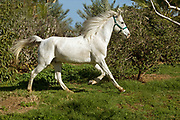 White riderless horse trotting in a field