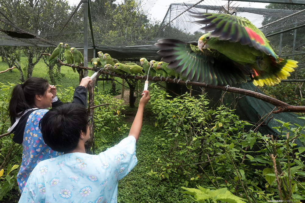 Chaos erupts during feeding time at Belize Bird Rescue. Hand feeding young Yellow-Headed Amazons (Amazona oratorio belizensis) while trying to have minimum contact is an exercise in futility.