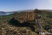 green sea turtle or honu, Chelonia mydas, Kahalu'u Beach Park, Kona, Hawaii, U.S.A. ( Central Pacific Ocean )