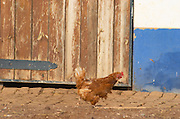 A hen outside the stable. Herdade da Malhadinha Nova, Alentejo, Portugal