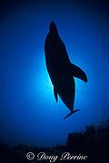 bottlenose dolphin, Tursiops truncatus silhouette, Anthony's Key Resort, Roatan, Bay Islands, Honduras ( Caribbean Sea )