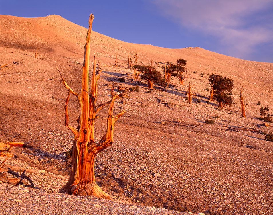 Ancient Bristlecone Pine at Timberline, The White Mountains Inyo National Forest, California