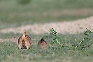 Prairie Dog behinds