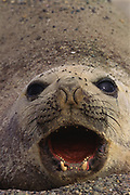 Southern Elephant Seal<br />Mirounga leonina<br />Peninsula Valdez, Patagonia  ARGENTINA. South America<br />RANGE Southern Oceans