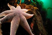 Yellow Sun star (Solaster endeca), Atlantic Ocean, Strømsholmen, North West Norway |  Atlantischer Ozean, Strømsholmen, Nordwestküste von Norwegen
