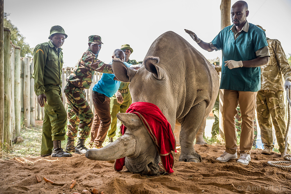 On August 22nd, 2019 an international consortium of scientists and conservationists completed a procedure that gets us one step closer to being able to save the northern white rhinos. The team successfully harvested eggs from the two females who live in Ol Pejeta Conservancy in Kenya — a procedure that has never been attempted in northern white rhinos before. The successful procedure was a joint effort by the Kenya Wildlife Service (KWS), Leibniz Institute for Zoo and Wildlife Research (Leibniz-IZW) Berlin, Avantea, Dv?r Králové Zoo, and Ol Pejeta Conservancy.<br /> <br /> After the eggs were harvested from the northern white rhino females, they were taken into a KWS helicopter and flown to Avantea in Italy where they will be artificially inseminated with frozen sperm from a northern white rhino bull, and in the near future the embryo will be transferred to a southern white rhino surrogate mother. <br /> <br /> The procedure to harvest eggs from the females was conducted with a probe, guided by ultrasound, which harvested immature egg cells (oocytes) from the ovaries of the animals who were under general anaesthetic. The anaesthesia went smoothly without any complications although these animals had not been immobilized for the last five years. <br /> The girls responded well to the procedure and are now awake, happy and back to their normal selves. <br />  (Photo by Ami Vitale)