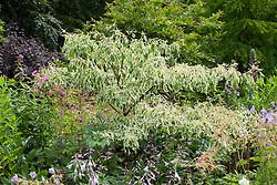 Cornus controversa 'Variegata' with hosta flowers. Dogwood