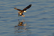 A bald ealge (Haliaeetus leucocephalus) flies, clutching a mallard duck drake (Anas platyrhynchos) that it caught on Lake Washington near Kirkland, Washington. The mallard is the most common duck in the United States and typically weighs up to 3 pounds (1.4 kilograms). Bald eagles generally weigh between 6 and 14 pounds (3 to 6.3 kilograms) and they are typically capable of lifting up to half of their body weight.