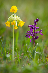 Cowslips and Green-winged Orchid growing in grass at  Strawberry Banks, Gloucestershire. Primula veris and Orchis morio