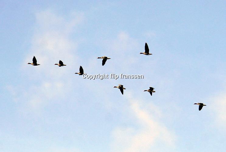 Nederland, Ubbergen, 19-2-2020 Wilde ganzen vliegen in de lucht. Elk jaar overwinteren tienduizenden ganzen in de Gelderse Poort en de uiterwaarden langs de rivier de Waal. Zij voeden zich met gras, vaak tot ergernis van boeren, veehouders die hun vee in de lente en zomer buiten willen laten grazen. Ook zijn de vogels verspreiders van het vogelgriepvirus. Foto: Flip Franssen