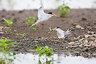 01013-00404 Least Terns (Sterna antillarum) male feeding female at nest in flooded field, Alexander Co.  IL