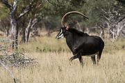 Sable Bull (Mr Bojangles) & females<br /> Camp #2<br /> Exotic Game Breeders / Eden Farm<br /> Limpopo Province<br /> South Africa
