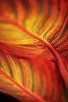 Close-up of vibrant Canna plant.