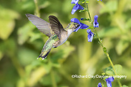 01162-15119 Ruby-throated Hummingbird (Archilochus colubris) at Blue Ensign Salvia (Salvia guaranitica ' Blue Ensign') in Marion County, IL