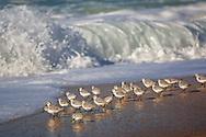 Western Sandpiper (Calidris mauri) birds at edge of sand beach and waves,