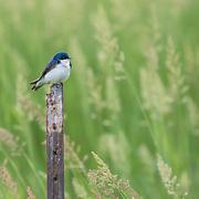 Tree swallow perched amid tall grasses at nature preserve, NE Ohio.