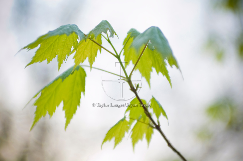 Young green maple leaves drape softly over their stems as a gentle rain drizzles down from a blue gray sky in the mountains of North Carolina.