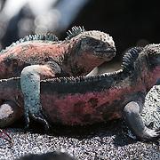 Galapagos Marine Iguana (Amblyrhynchus cristatus).  A pair sunbathes on a rock while a Sally Lightfoot Crab (Grapsus grapsus) crawls nearby. Galapagos, Ecuador.