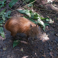 A Capybara (Hydrochoerus hydrochaeris) lives at Pilpintuwasi Butterfly Farm and Amazon Animal Orphange near Iquitos, Peru. Capybaras are the world's largest rodents.