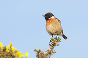 Stonechat, Saxicola torquata, male on gorse bush, summer plumage, Inverness-shire, Highland.<br /> animal; animals; bird; birds; chat; chats; nature; wildlife; adult<br /> one; single; lone; alone; stood; standing; look; looking; watch;<br /> watching; heath; heathland; pe