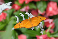 Butterfly, Dryas iulia, Julia Heliconian, Resting On A White Leaf