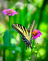 Tiger Swallowtail butterfly on a Zinnia flower.  Image taken with a Fuji X-T2 camera and 100-400 mm OIS lens