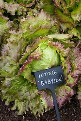 Lettuce 'Babylon'