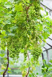 Vitis vinifera 'Muscat of Alexandra' growing in the greenhouse. Grape vine