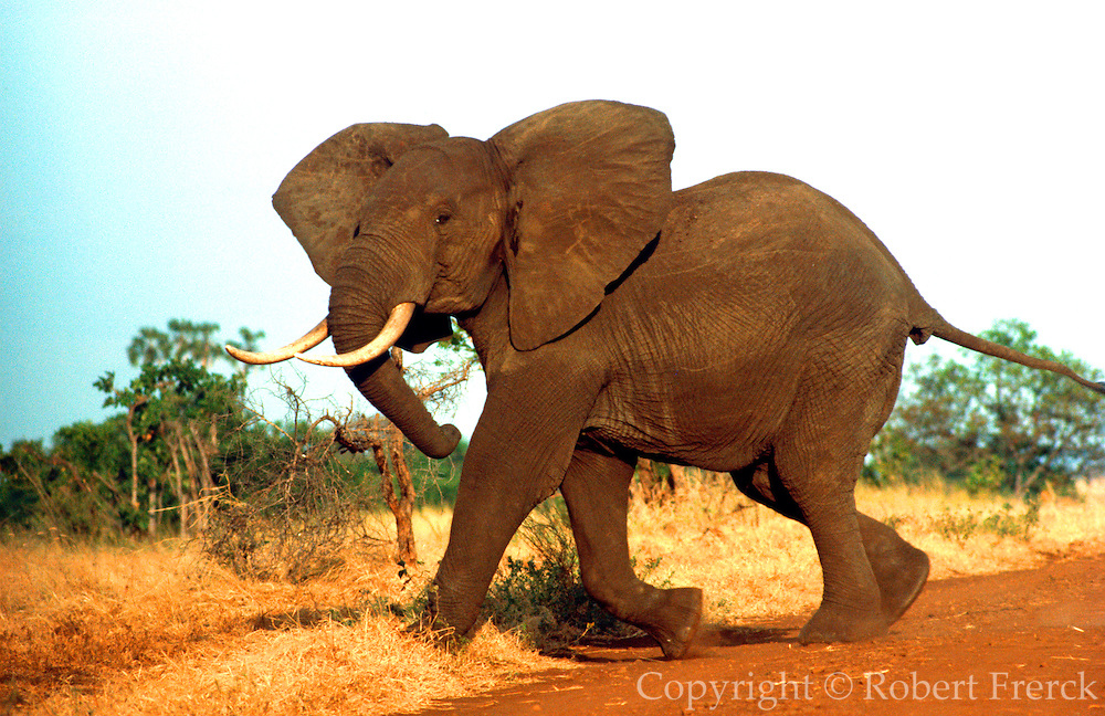 KENYA, WILDLIFE Meru Park; a wild male elephant charging  with ears flapping in a display to  intimidate enemies