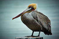 Pelican on a Post Along the Harbor in San Diego, California. Nikon 1 V3 camera and 70-300 mm VR lens (ISO 200, 264 mm, f/5.6, 1/320 sec). Raw image processed with Capture One Pro, Focus Magic, and Photoshop CC.