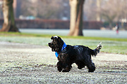 Henry our 8 month-old blue roan cocker spaniel enjoying the frosty park.