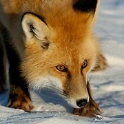 Red Fox (Vulpus fulva) Near Churchill, Manitoba, Canada. Winter