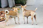 Two village dogs. Mekong River in Cai Be, Tien Giang Province, Vietnam
