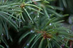 13 June 2010: Morning flowers and dew.  Dew drops hang and reflect in the morning light from a small evergreen tree.