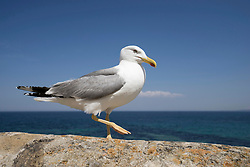 Close-up of seagull walking on harbour wall by sea, Puglia, Italy