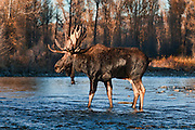 Large bull moose crossing a stream in late evening light in Grand Teton National Park.