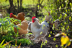 Chickens kept in a garden to deal with slugs and snails
