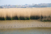 Reedbeds at low tide, River Alde, Snape, Suffolk, England with village at higher level above flood plain