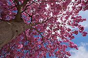Magenta flowers of the Judas Tree (Cercis siliquastrum), Photographed in Israel