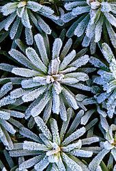 Frost on Euphorbia characias 'Portuguese Velvet' in Helen Yemm's garden, Ketley's