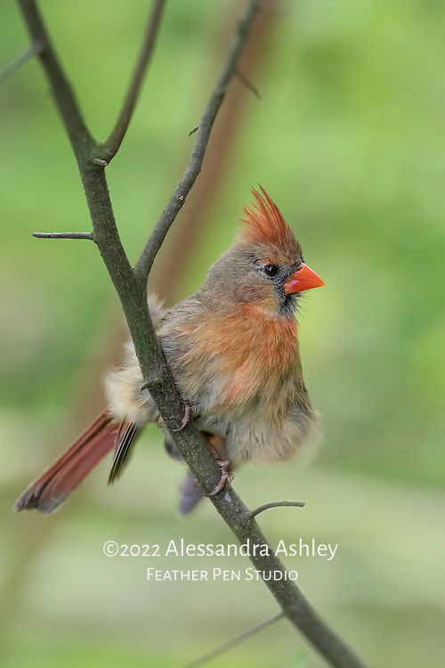 Female northern cardinal (Cardinalis cardinalis) perched in tree just after having rearranged her feathers.